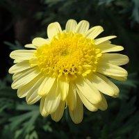 Argyranthemum frutescens / Хризантема кустарниковая :: laana laadas