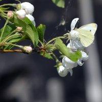 А бабочка крылышками... :: Олег Меркулов
