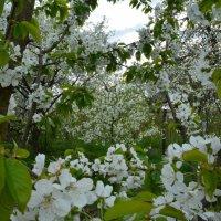 Яблони в цвету :: Елена Раенок