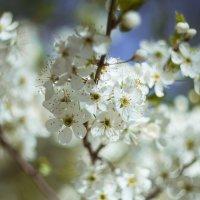 Традиционные весенние цветы :: Виктория Ходаницкая