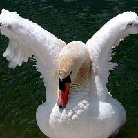 Лебедь-ангел! :: Наталья