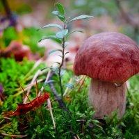 Белый гриб плачет :: Виктор Седов
