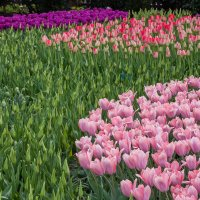 Tulips in Holland 04-2015 (17) :: Arturs Ancans