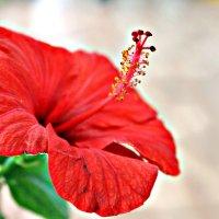Китайская роза :: Катерина Франц