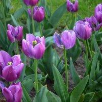 Тюльпаны :: Ростислав
