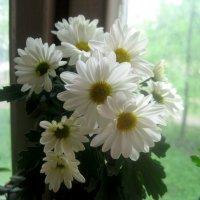 Хризантемы-создают уют и приносят радость в дом :: Елена Семигина