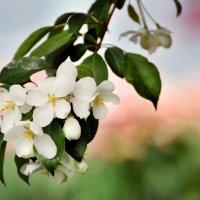 веточка яблоньки :: Евгений Фролов