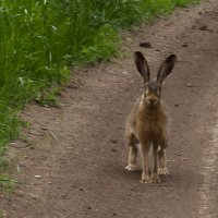 Встреча с зайцем :: серж