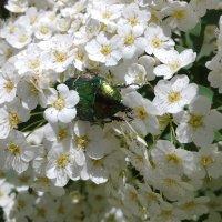 Спирея цветет :: Serg