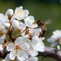 Пчелофотоохота :: Мария Сидорова