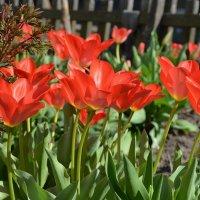 Первые тюльпаны. :: *MIRA* **