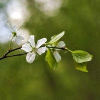Цветок вишни :: Anastasia Bozheva