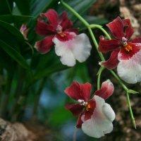 Орхидея :: lady-viola2014 -