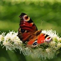 бабочка :: Августа