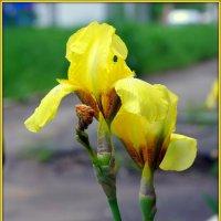 Желтые ирисы :: Андрей Заломленков