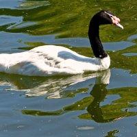 Черношейный лебедь :: Александр Запылёнов
