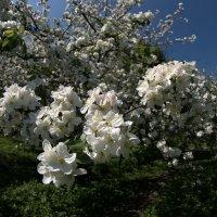 Яблони цветут... :: GaL-Lina .