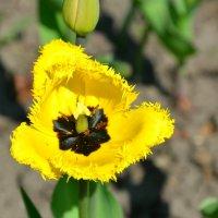 Природная красота цветов (тюльпан) :: Милешкин Владимир Алексеевич