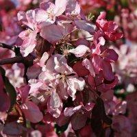 Яблоня в цвету-какое чудо!!! :: Ирина Князева