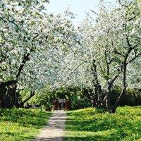 Яблоневые сады Коломенского :: Ирина Князева