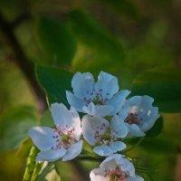 Цветение груши :: Ольга Осовская