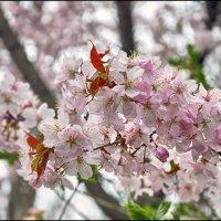 Цветение сакуры :: Василиса Никитина