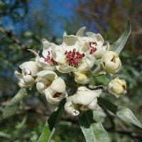 Ивовая груша ( Салифоцилия ) :: laana laadas