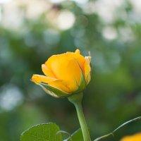 Жёлтая роза :: Елена Нор