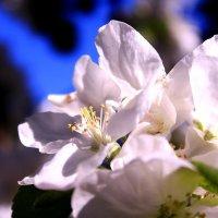 Яблони в цвету - весны творенье :: Татьяна Ломтева