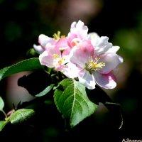 Цветы весны :: Андрей Заломленков