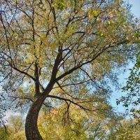 Раскидистое дерево :: Денис Масленников