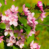 Розовая весна :: Михаил Барамович
