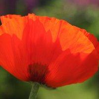 Аленький цветочек... :: lady-viola2014 -