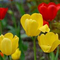 Тюльпаны 3 :: Анатолий