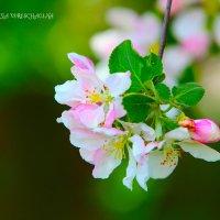 Яблоневый цвет :: Юлия Верещагина