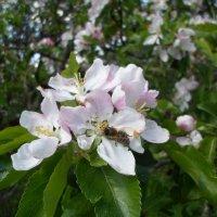 Пчёлка-труженица :: BoxerMak Mak