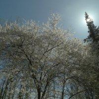 вишня, ель, солнце... :: Михаил Жуковский