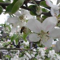 Пчелка :: BoxerMak Mak