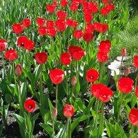 Весна. Тюльпаны. :: Елена Каталина