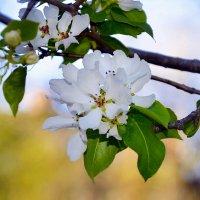 Цветение груши :: Алёна Прель