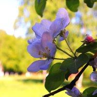 Цветущих яблонь тень сквозная :: Татьяна Ломтева