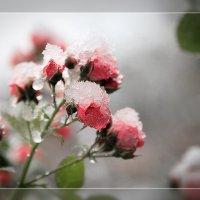 Розовые цукаты :: Валерий Нечистяк