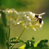 пчелка :: Юрий Максимов