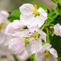 Яблонька в цвету :: Павел Швалов