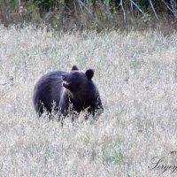 Бурый медведь :: Сергей Стреляный