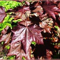 Клён пурпурный. :: Валерия Комова