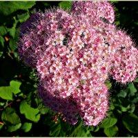 Розовое облако спиреи. :: Валерия Комова