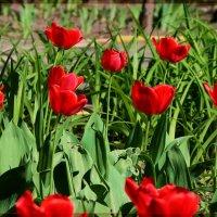 Тюльпаны. :: Anatol Livtsov