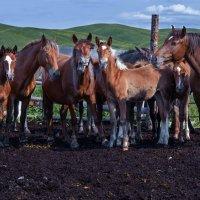 Дикие лошади, Алтай :: Нормундс Капостиньш