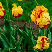 Тюльпаны. :: Маргарита ( Марта ) Дрожжина